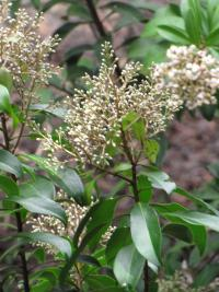 (Ardisia escallonioides) Marlberry - flowers