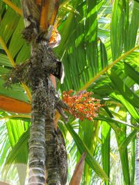 (Areca vestiaria) Orange crownshaft palm - trunk, fruit and leaves
