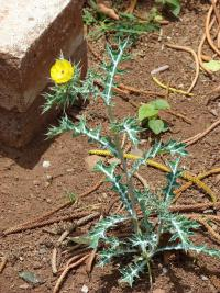(Argemone mexicana) Mexican poppy - flowering habit