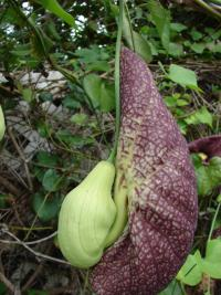 Calico flower - flower (Aristolochia littoralis)