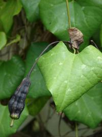 (Aristolochia littoralis) Calico flower - leaves and fruit