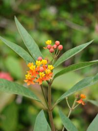 (Asclepias curassavica) Bloodflower - flowers and leaves
