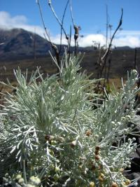(Artemisia mauiensis) Maui Wormwood - flowers and leaves