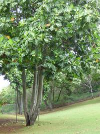 (Artocarpus altilis) Breadfruit Tree - fruiting habit