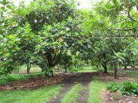 (Artocarpus altilis) Breadfruit Tree - grove
