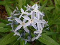 (Amsonia illustris) Amsonie