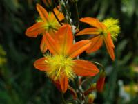 (Bulbine frutescens) Bulbina