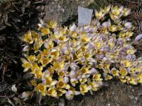 Šafrán zlatý Advance (Crocus chrysanthus)