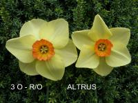 Narcis Altruist - Malokorunné narcisy (Narcissus x hybridus)
