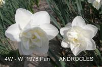 Narcissus  'Androcles' - narcis