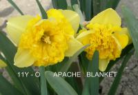 Narcissus  'Apache Blanket' - narcis
