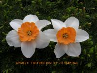 Narcissus  'Apricot Distinction' - narcis