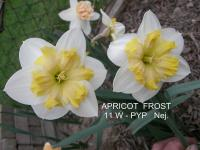 (Narcissus x hybridus) Narcis Apricot Frost - Papillon narcisy