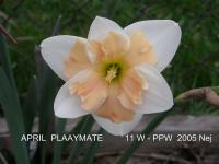 (Narcissus x hybridus) Narcis April Playmate - Papillon narcisy