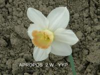 Narcissus   'Apropos' - narcis