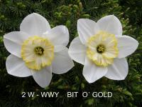 Narcissus  'Bit O Cold' - narcis
