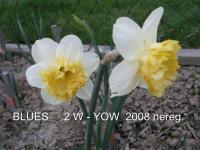 Narcissus  'Blues' - narcis