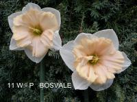 Narcissus  'Bosvale' - narcis