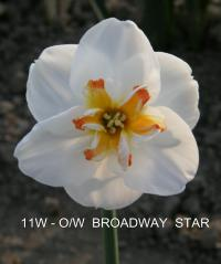 Narcissus  'Broadway' - narcis