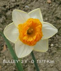 Narcissus  'Bulley' - narcis