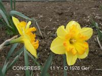 narcis Narcissus  'Congress'