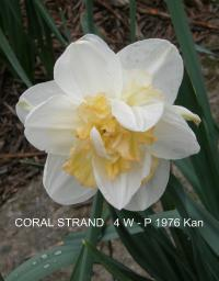 narcis Narcissus  'Coral Strand'