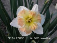 Narcis Delta Force (Narcissus x hybridus)