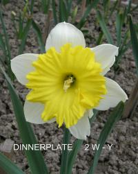 narcis Narcissus  'Dinnerplate'