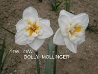 Narcis Dolly Mollinger (Narcissus x hybridus)