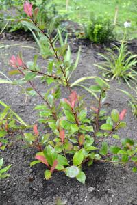 (Photinia x fraseri Little Red Robin) Blýskavka