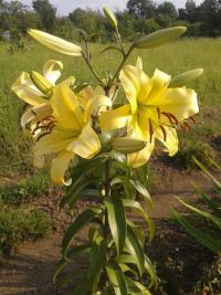 (Lilium x hybridum) Lilie Honeymoon - OT hybrid