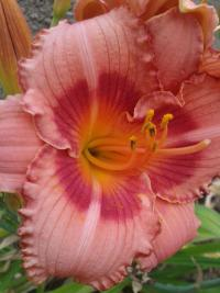 Denivka Strawberry Candy (Hemerocallis x hybrida)