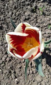 Tulipán Grand Perfection