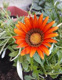 (Gazania rigens) Gazánie zářivá 'Big Kiss Red'