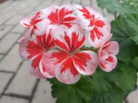 Pelargonie 'Mr Wren Splash' (Pelargonium x hortorum)