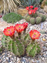 (Echinocereus triglochidiatus) Echinocereus triglochidiatus