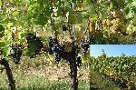Vinná réva výsadba